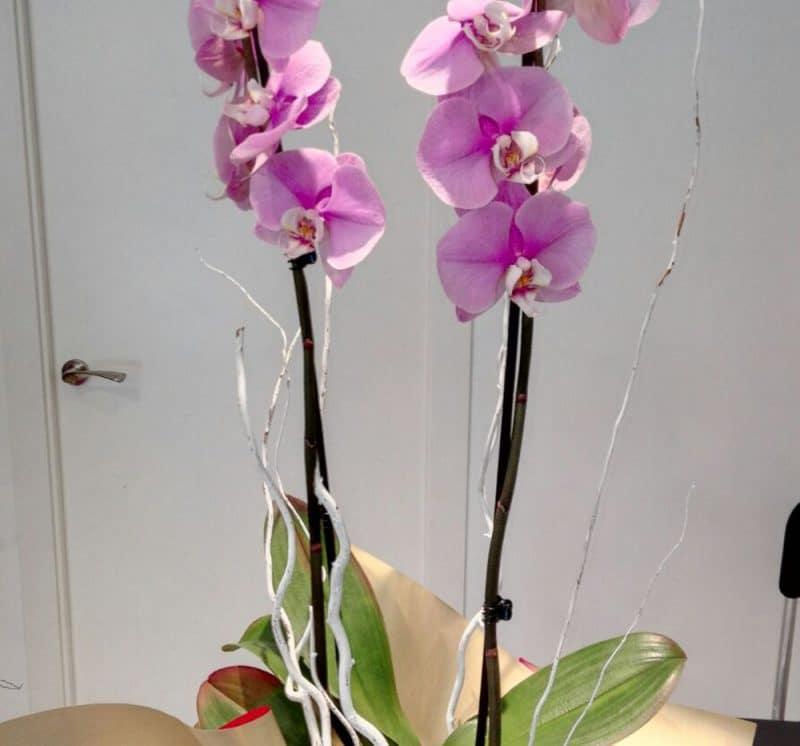 floristeria_denis_phalaenopsis_2