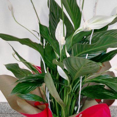 floristeria_denis_spathiphullium_2